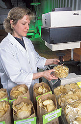 Technician measures potato chip color in different potato breeding lines: Click here for full photo caption.