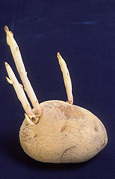 A potato that sprouted during storage: Click here for full photo caption.