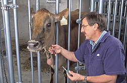 Physiologist collects blood from a Jersey cow: Click here for full photo caption.