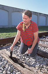 Entomologist inspects a railroad tie for termites and nests: Click here for full photo caption.