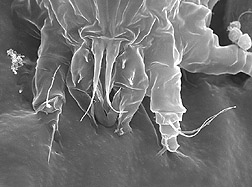 A Floracarus perrepae mite: Click here for full photo caption.