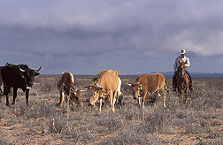 Animal scientist moves cattle in desert landscape: Click here for full photo caption.