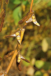 Soybeans:  Link to photo information