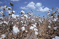 Cotton field, ready for harvest. Link to photo information