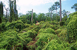 Entomologist examines invasive Old World climbing fern: Click here for full photo caption.