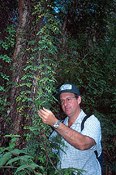Entomologist inspects Old World climbing fern: Click here for full photo caption.