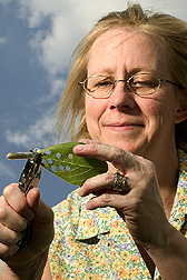 Biologist collects leaf punchouts: Click here for full photo caption.