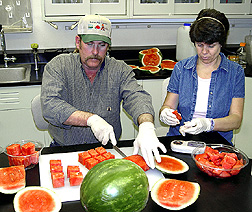 Technician prepares watermelon chunks for a study as another technician analyzes samples: Click here for full photo caption.