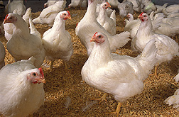 Photo: Chickens. Link to photo information