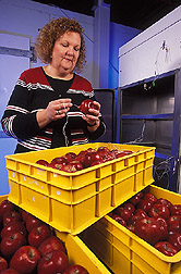 Entomologist Lisa Neven inserts a temperature probe into an apple. Link to photo information