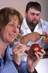 Technician applies codling moth larvae to an apple while another technician cuts open an infested apple: Click here for full photo caption.