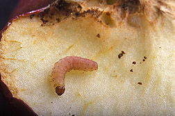 A codling moth larva crawls out of an apple it infested: Click here for photo caption.
