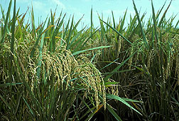 Rice plants. Link to photo information
