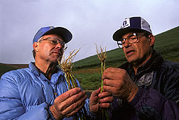 ARS plant pathologist and a wheat grower compare roots of healthy plants and infected ones: Click here for full photo caption.
