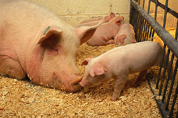 A sow and her piglets: Click here for photo caption.