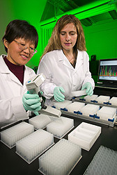 Technician and molecular biologist prepare samples for high-throughput BAC fingerprinting of the catfish genome: Click here for full photo caption.