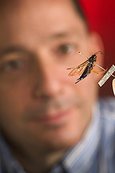 Entomologist examines an adult specimen of Sirex noctilio: Click here for full photo caption.