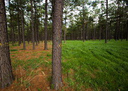The left part of this pine stand is unfertilized, unplanted, and covered with pine straw, and the right side is planted with a ryegrass cover crop that has been fertilized: Click here for full photo caption.