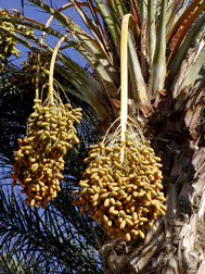 Clusters of ripening Deglet Noor dates hang from a tree. Link to photo information