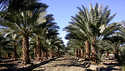 A young commercial date palm planting in California's Coachella Valley: Click here for full photo caption.