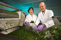 Food technologist and plant pathologist collect a sample of sanitized fresh-cut cilantro from a produce washer: Click here for full photo caption.