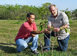 Horticulturist and geneticist evaluate a Tabebuia haemantha seedling grown from seed they collected in Puerto Rico: Click here for full photo caption.