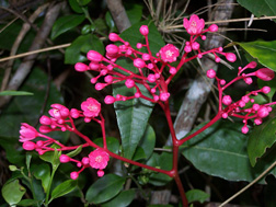 The showy pink flowers of Simarouba tulae, the aceitillo tree: Click here for photo caption.