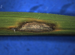A typical eye-shaped lesion of rice blast disease on a U.S. rice cultivar: Click here for full photo caption.