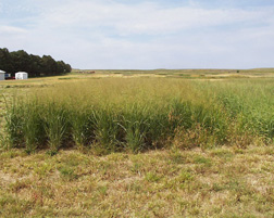 Field of switchgrass. Link to photo information
