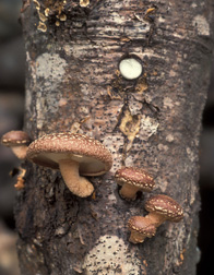 Shiitake mushrooms: Click here for photo caption.