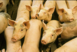 A newly designed phytase enzyme added to animal feed enables swine to use more phosphorus in the feed and excrete less of the phosphorus in their waste: Click here for photo caption.
