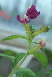Photo: Cuphea bloom. Link to photo information