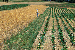 Plant physiologist records data on weeds growing in a ripening organic wheat field: Click here for full photo caption.