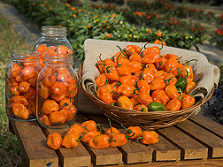 Colorful display of fresh TigerPaw peppers in Mason jars and wicker basket.. Link to photo information