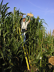 Mike Blanco pollinates maize. Link to photo information