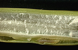 A Tetramesa romana larva (bottom) chews its way through this cross section of Arundo donax stem: Click here for photo caption.