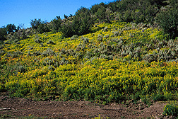 Leafy spurge overtaking a hillside in Colorado: Click here for photo caption.