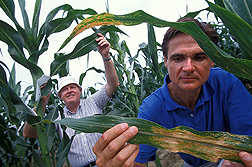 ARS plant pathologist (right) and maize geneticist/breeder (North Carolina State University) inspect different maize varieties for resistance to southern leaf blight infection: Click here for full photo caption.