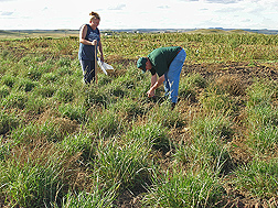 Physical science technician (right) and former biological aid collect soil samples under Russian wildrye in Mandan, North Dakota: Click here for full photo caption.