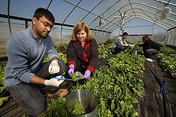 To determine how long bacteria remain viable in a high-tunnel production system—popular with Mid-Atlantic growers of leafy greens—scientists harvest spinach leaves from plants inside the aluminum rings: Click here for full photo caption.