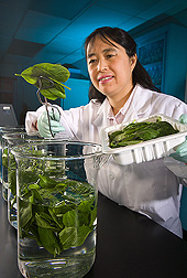 Food technologist is studying various wash waters and sanitizers to enhance the microbial safety of spinach (shown here), lettuce, and other leafy greens: Click here for full photo caption.