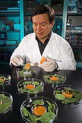 A collaborating researcher from the University of California-Davis places an antimicrobial edible film into a small dish within a larger dish of spinach leaves inoculated with E. coli O157:H7: Click here for full photo caption.