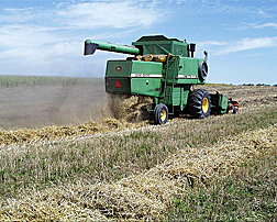 A combine moves through a field of triticale, harvesting grain and leaving swaths for the cows to feed on in the winter in Mandan, North Dakota: Click here for photo caption.