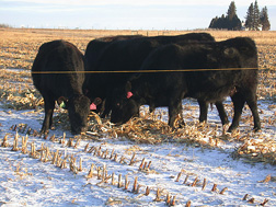 Cows grazing on corn swaths in the winter snow in North Dakota: Click here for full photo caption.