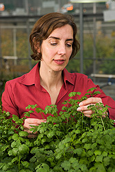 In a greenhouse, a microbiologist examines cilantro that she uses as a model plant to investigate the behavior of foodborne pathogens on leaf surfaces: Click here for full photo caption.