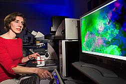 Using a confocal laser scanning microscope, a microbiologist examines a mixed biofilm of Salmonella enterica (pink) and Erwinia chrysanthemi (green) in soft rot lesions on cilantro leaves (blue): Click here for full photo caption.