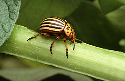 Colorado potato beetle: Click here for photo caption.