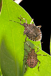Two brown marmorated stink bugs on a leaf.