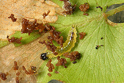 Neo caterpillar feeding on a leaflet of L. microphyllum: Click here for photo caption.