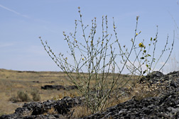 Rush skeletonweed in Idaho: Click here for photo caption.